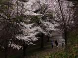 花咲、花散る道を