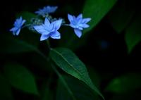 OLYMPUS E-M5で撮影した(六月の青い星☆彡 - 七段花 -  ③)の写真(画像)