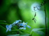 紫陽花  -共存-  ①