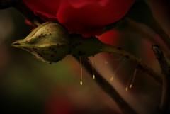 優曇華の花