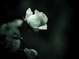 モノトーンの記憶  - 過ぎし日の薔薇 -  ①