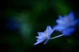 六月の青い星☆彡  - 七段花 -  ④