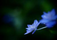 OLYMPUS E-M5で撮影した(六月の青い星☆彡  - 七段花 -  ④)の写真(画像)