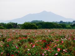 ヒナゲシと筑波山②