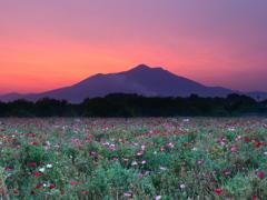 ヒナゲシと筑波山