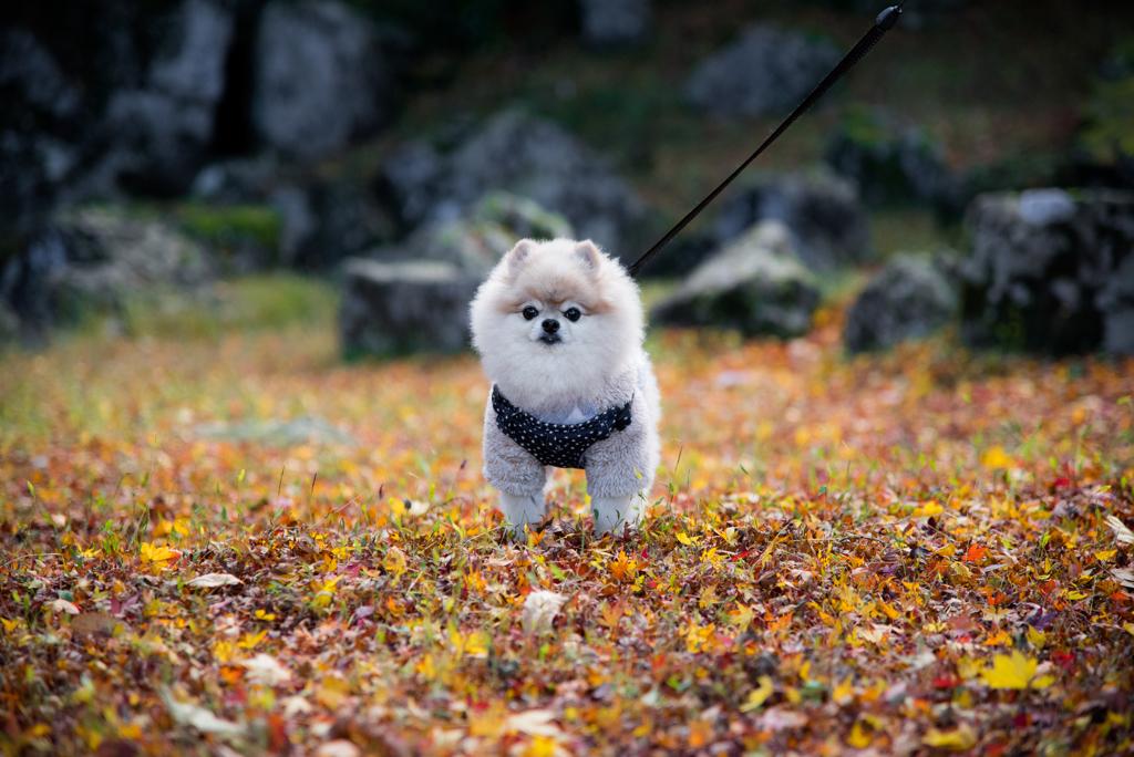 紅葉狩り犬2。