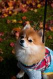 紅葉狩り犬1。