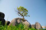 ド根性の木