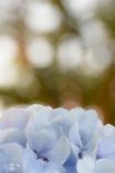紫陽花1。