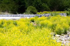 黄色咲く河原