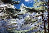 クリスタル化する木々