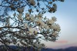 コブシ咲く夕暮れ