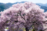庭先の大樹