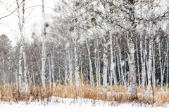 白樺林雪模様