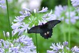嬉しい来訪蝶