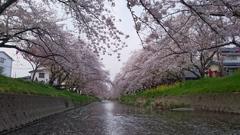 桜だもん!