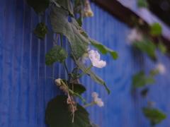 青いトタン塀に夏の花
