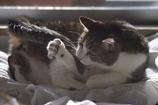しっぽで遊ぶ猫