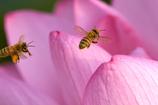 蜜蜂の行進