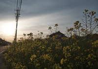 FUJIFILM X-Pro2で撮影した(夕暮れ時の菜の花)の写真(画像)