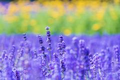 紫の妖精たち・・・