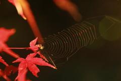 モミジ&クモの巣