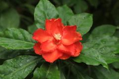 カンボジアの花