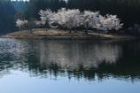 中子の桜:1
