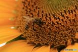 向日葵と蜜蜂・2