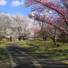 桜公園・1