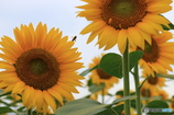 向日葵と蜜蜂・1