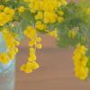 ミモザ咲くころ。