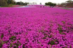 市貝町 芝桜公園