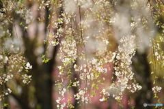 京都御苑2018_04