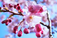 東京地区 西部の桜模様…