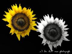 yellow & white sunflower (黄色と白のひまわり)