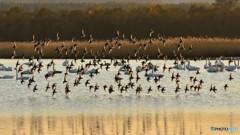 ハマシギの群飛
