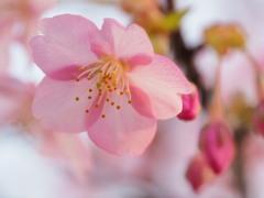 さくら 咲く。。