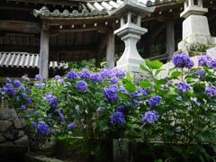 長谷寺 紫陽花3