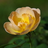 秋の薔薇便りⅠ