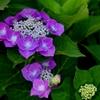 紫陽花いろとりどり2