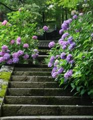 長谷寺 紫陽花1
