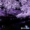 野川桜ライトアップ×光芒