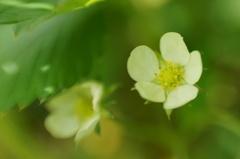 バージニアイチゴの白い花