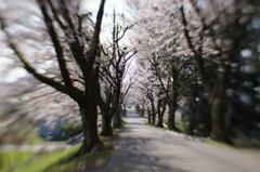 満開の桜坂にて