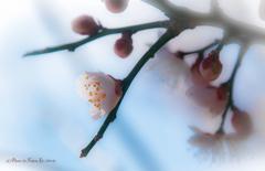 梅を暈かす