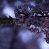 観音寺川の桜並木3