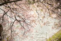 桜色の水辺
