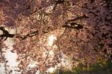 桜、日が落ちる前に