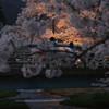観音寺川の桜並木2